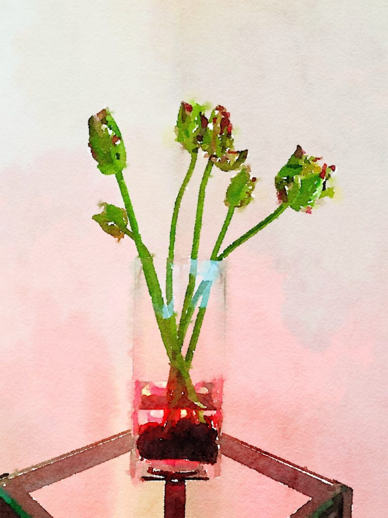 Week Twelve: Six Burgundy and Green Parrot Tulips in a Clear Glass Vase